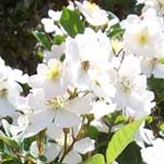 A photo of white flowers